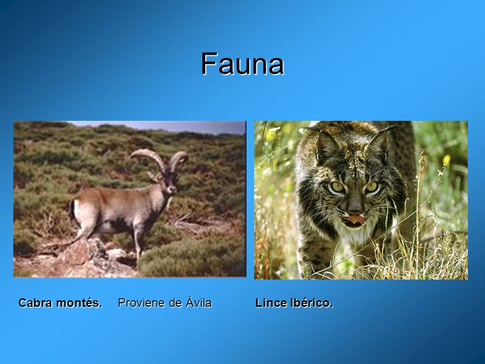 Fauna Cabra montés. Proviene de Ávila Lince Ibérico.