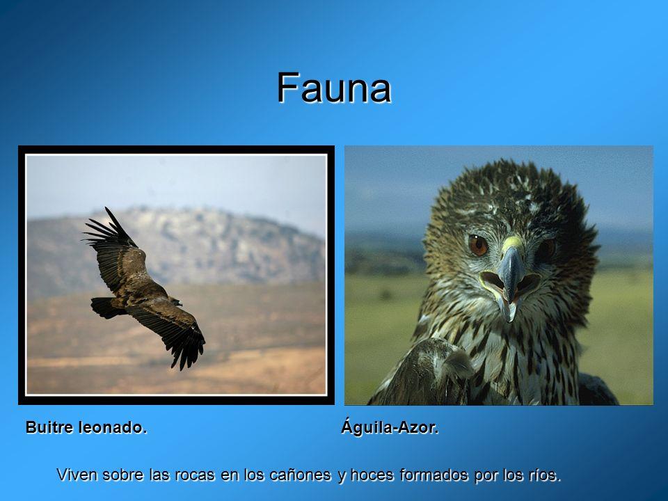 Fauna Buitre leonado. Águila-Azor.
