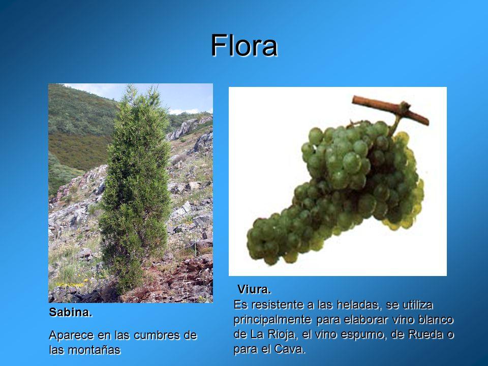 Flora Viura. Es resistente a las heladas, se utiliza principalmente para elaborar vino blanco de La Rioja, el vino espumo, de Rueda o para el Cava.