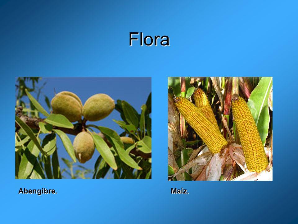 Flora Abengibre. Maíz.