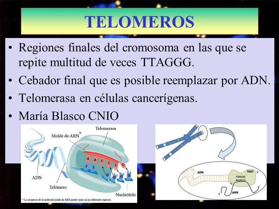 TELOMEROSRegiones finales del cromosoma en las que se repite multitud de veces TTAGGG. Cebador final que es posible reemplazar por ADN.