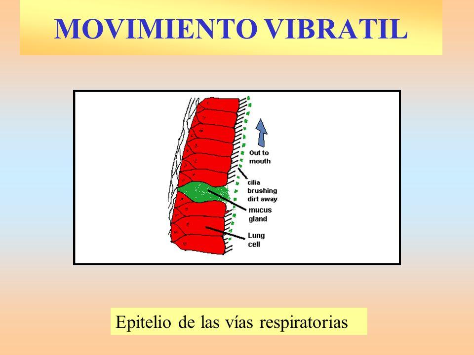 MOVIMIENTO VIBRATIL Epitelio de las vías respiratorias.