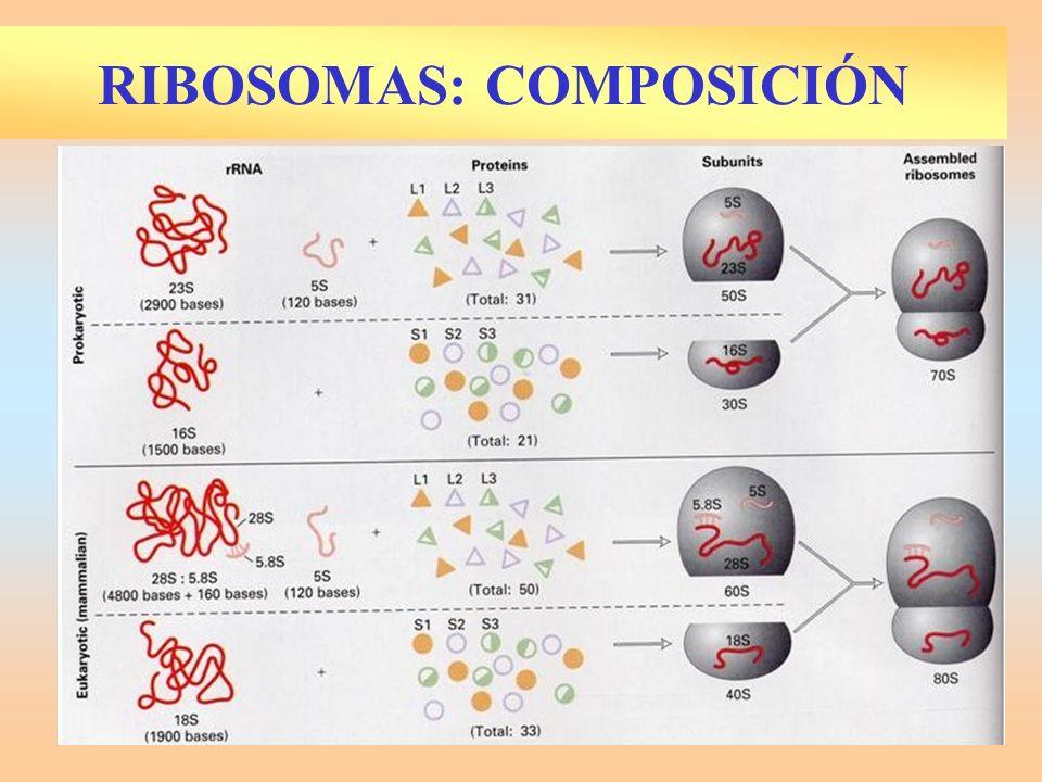 RIBOSOMAS: COMPOSICIÓN