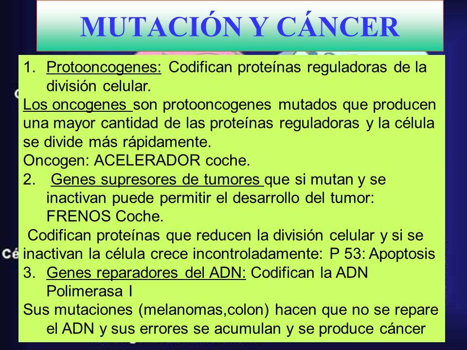 MUTACIÓN Y CÁNCER Protooncogenes: Codifican proteínas reguladoras de la división celular.