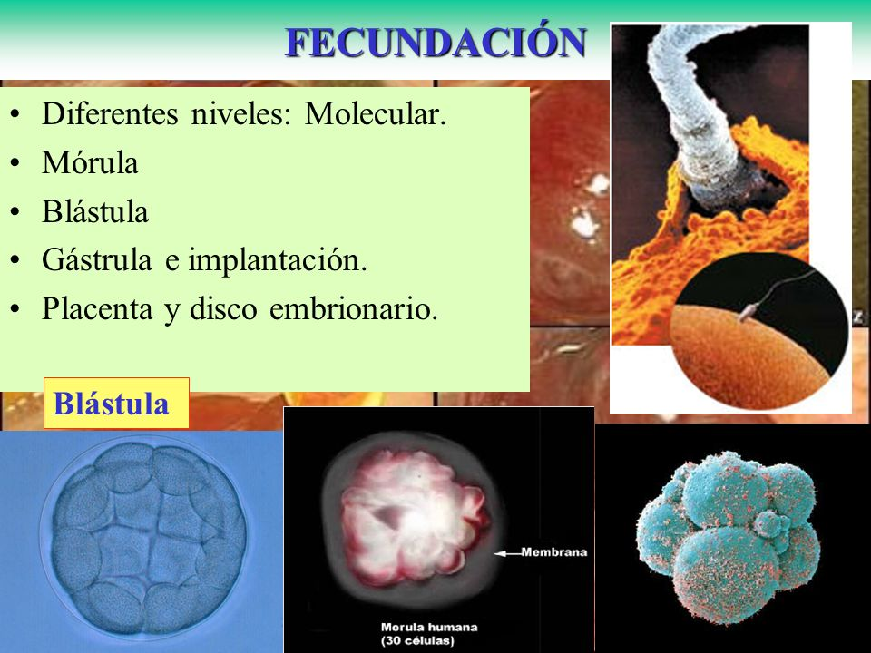 FECUNDACIÓN Diferentes niveles: Molecular. Mórula Blástula