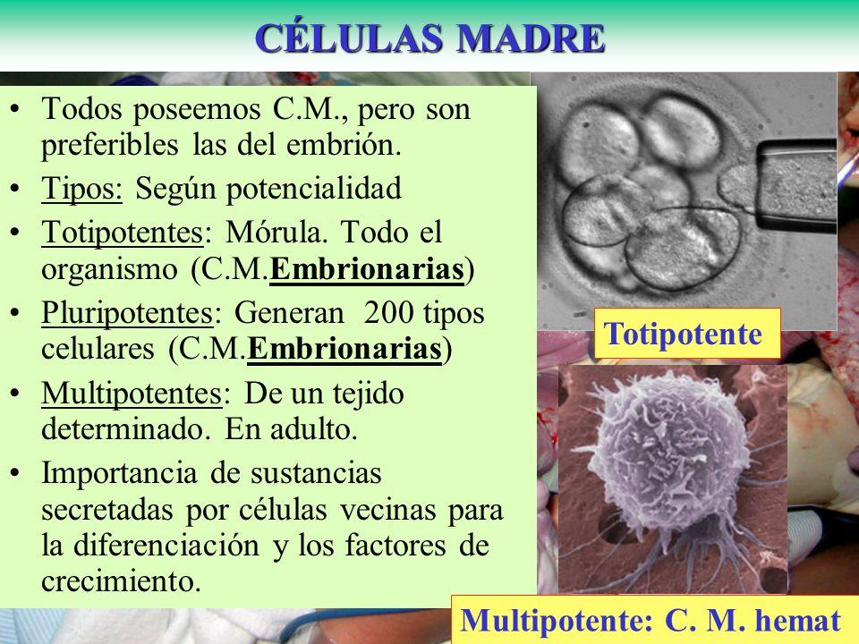 CÉLULAS MADRE Todos poseemos C.M., pero son preferibles las del embrión. Tipos: Según potencialidad.