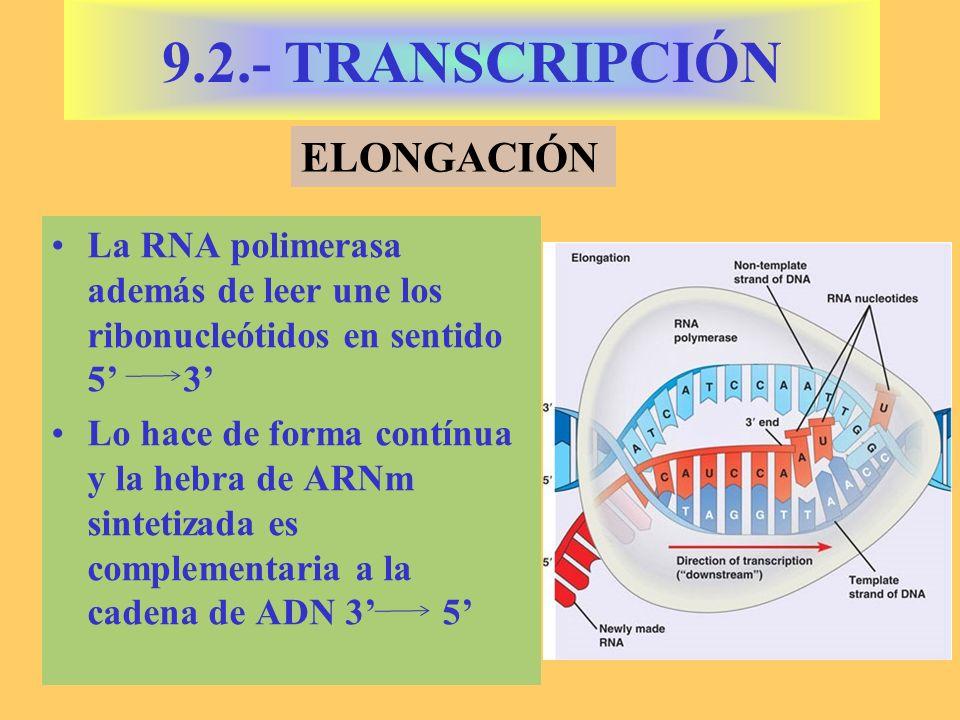 9.2.- TRANSCRIPCIÓN ELONGACIÓN