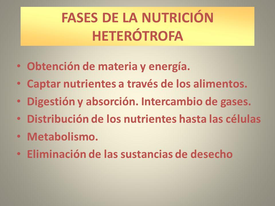 FASES DE LA NUTRICIÓN HETERÓTROFA