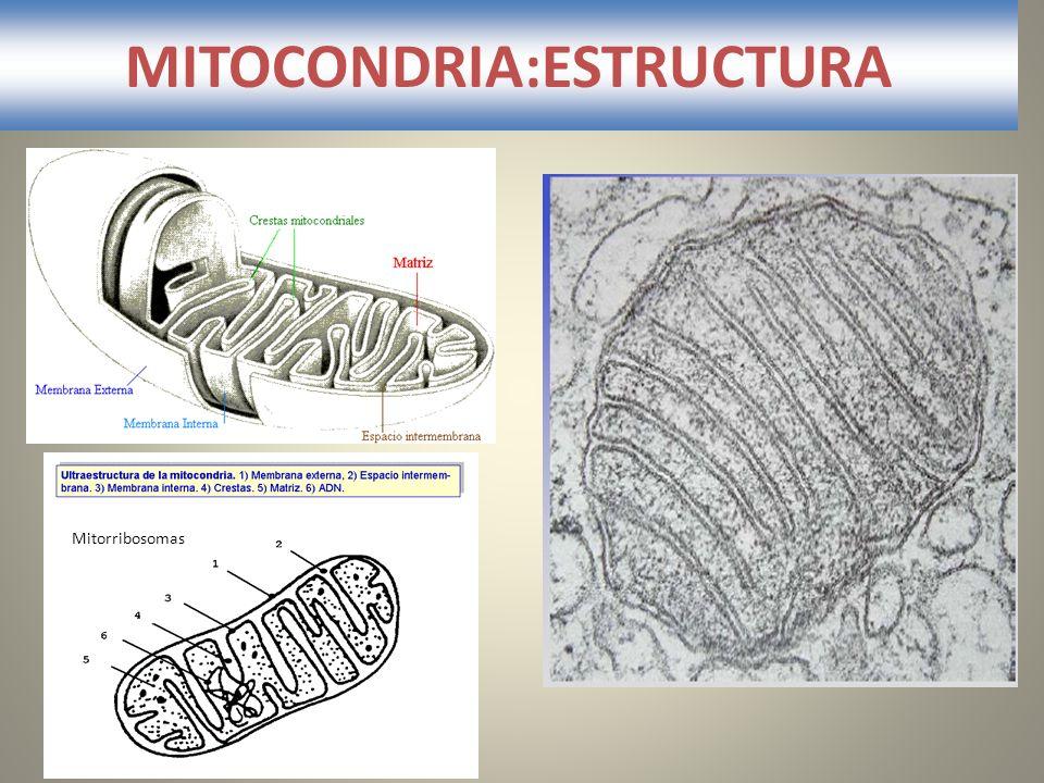 MITOCONDRIA:ESTRUCTURA