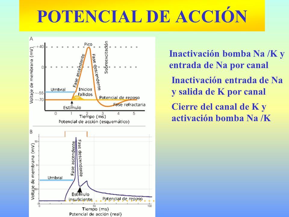 POTENCIAL DE ACCIÓN Inactivación bomba Na /K y entrada de Na por canal