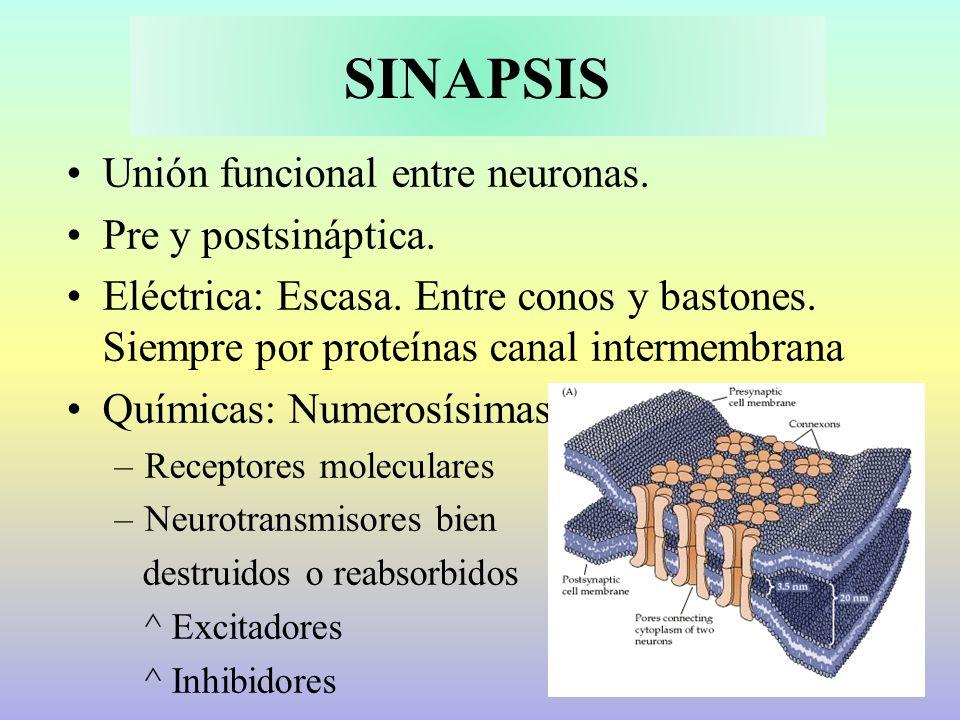 SINAPSIS Unión funcional entre neuronas. Pre y postsináptica.