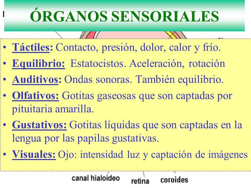 ÓRGANOS SENSORIALES Táctiles: Contacto, presión, dolor, calor y frío.
