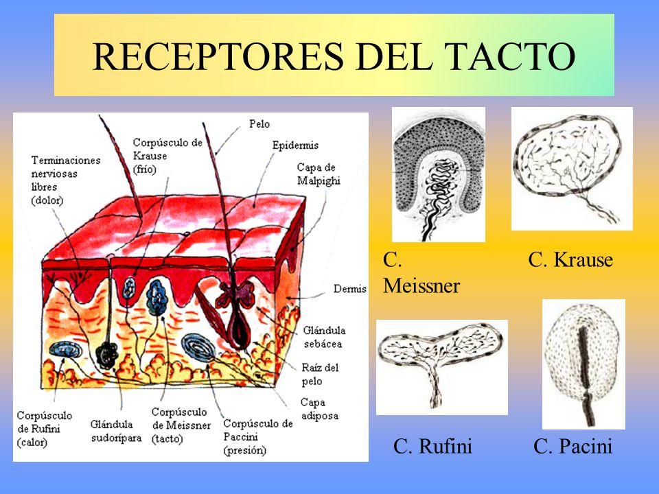 RECEPTORES DEL TACTO C. Meissner C. Krause C. Rufini C. Pacini