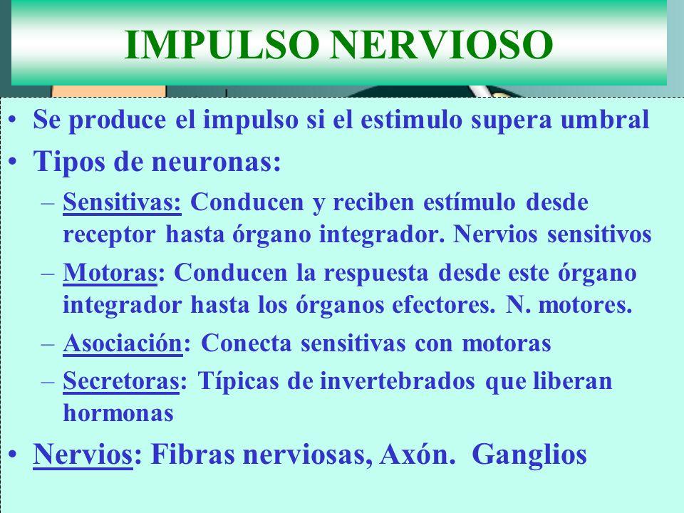 IMPULSO NERVIOSO Tipos de neuronas: