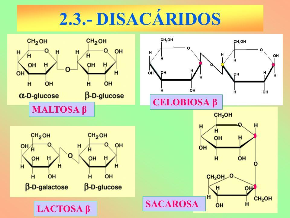 2.3.- DISACÁRIDOS CELOBIOSA β MALTOSA β SACAROSA LACTOSA β