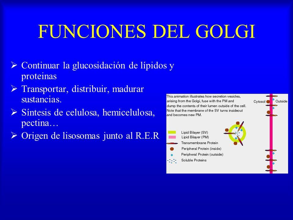 FUNCIONES DEL GOLGI Continuar la glucosidación de lípidos y proteinas