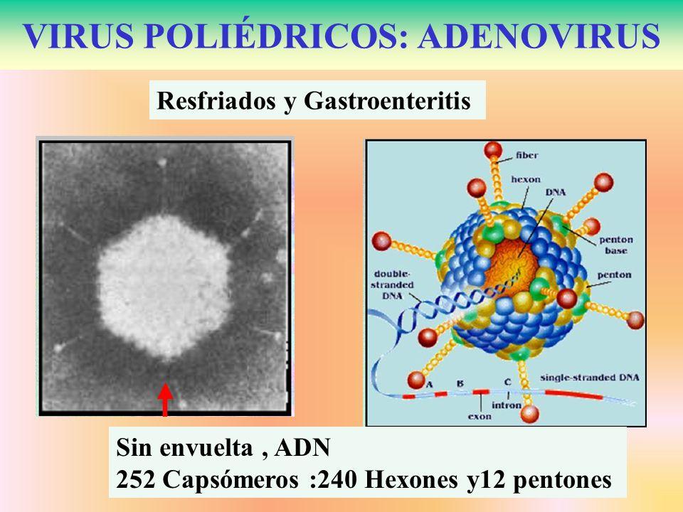 VIRUS POLIÉDRICOS: ADENOVIRUS