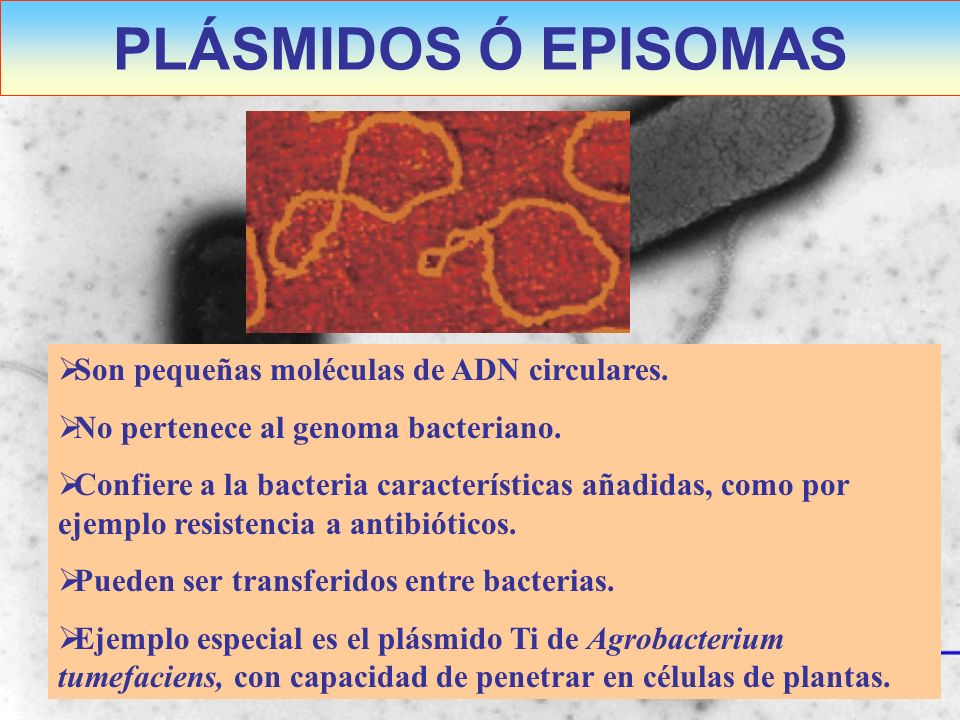 PLÁSMIDOS Ó EPISOMAS Son pequeñas moléculas de ADN circulares.