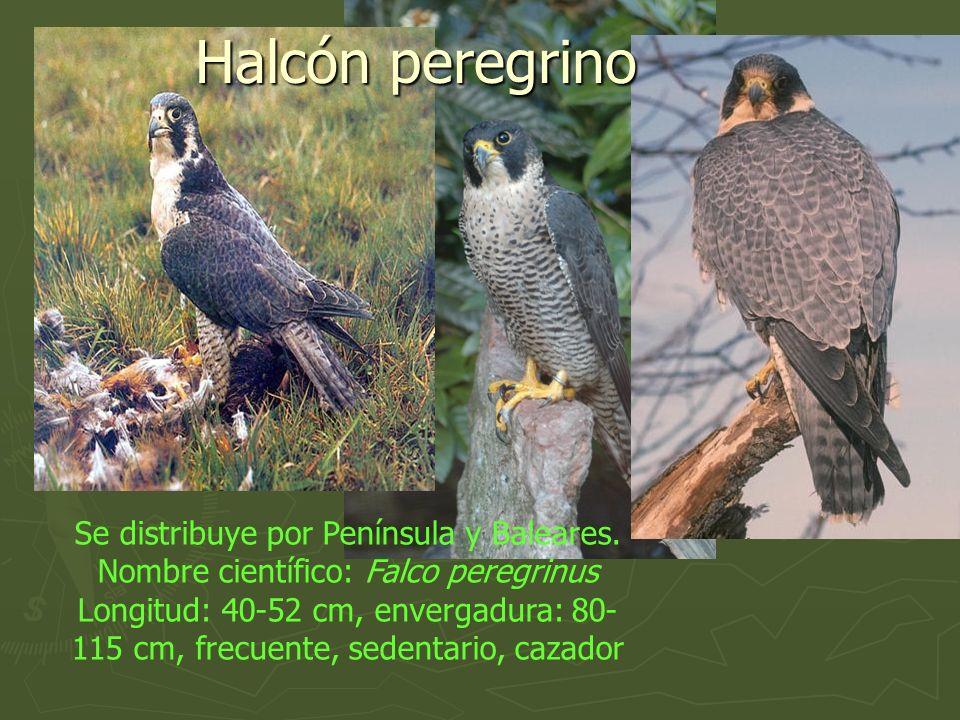 Halcón peregrino Se distribuye por Península y Baleares.