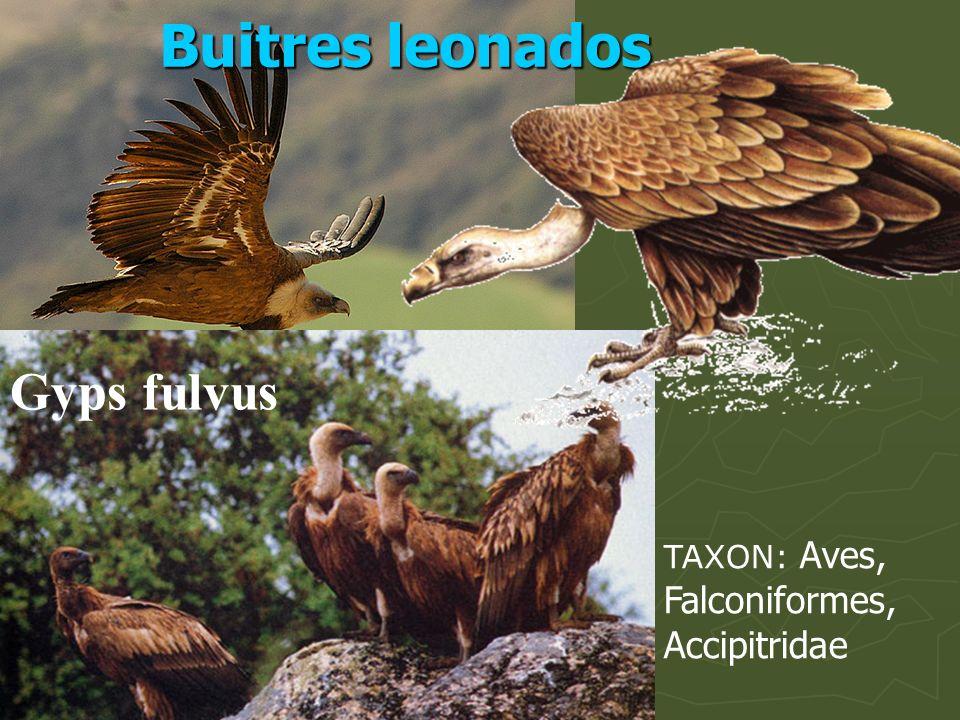 Buitres leonados Gyps fulvus TAXON: Aves, Falconiformes, Accipitridae