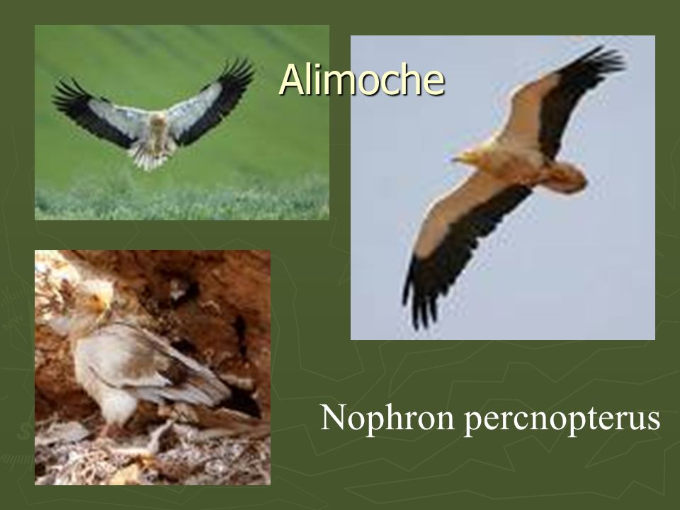 Alimoche Nophron percnopterus