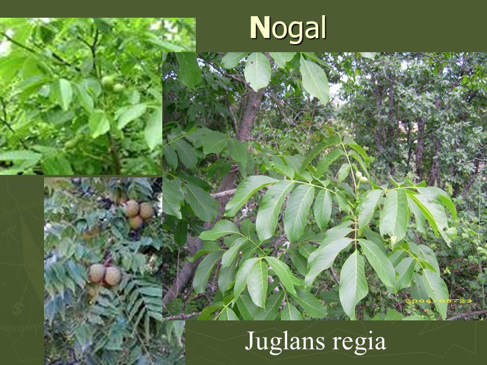 Nogal Juglans regia