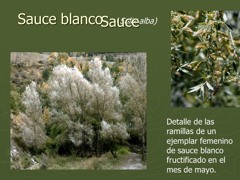 Sauce blanco Sauce (Salix alba)
