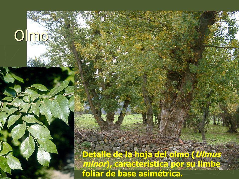OlmoDetalle de la hoja del olmo (Ulmus minor), característica por su limbe foliar de base asimétrica.