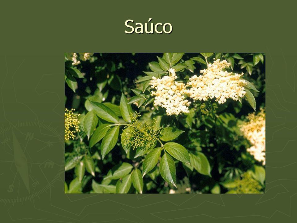 Saúco
