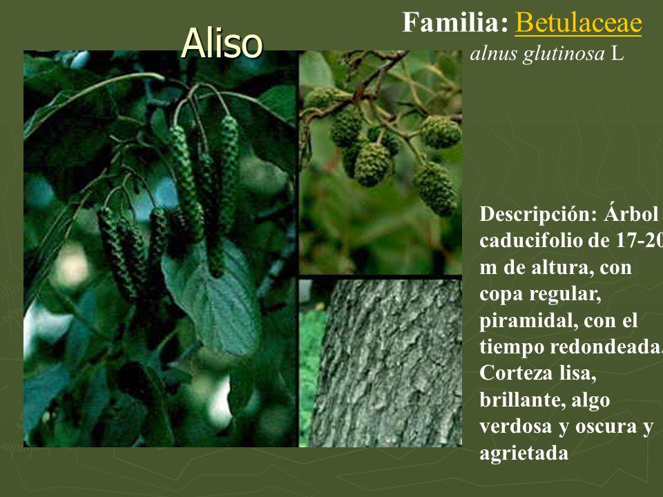 Aliso Familia: Betulaceae alnus glutinosa L