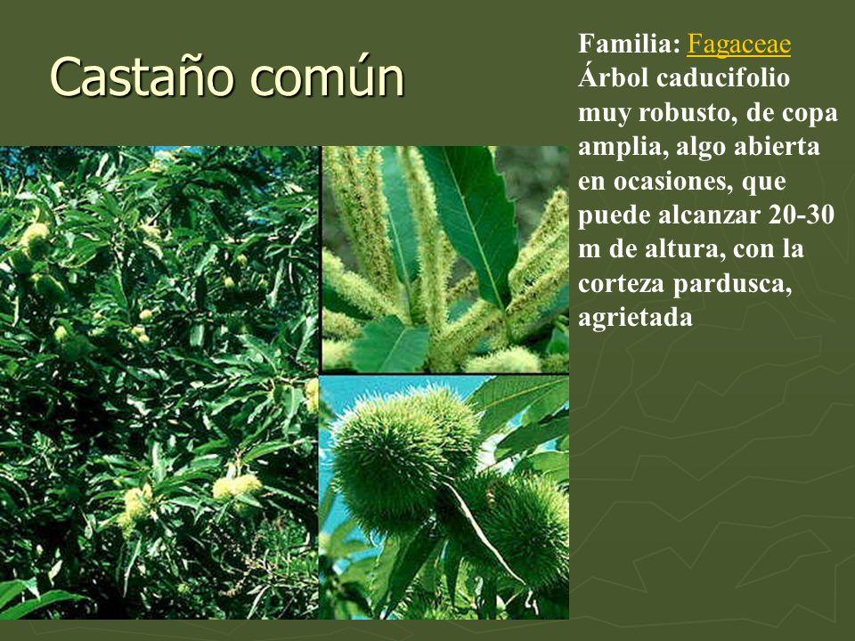 Castaño común Familia: Fagaceae