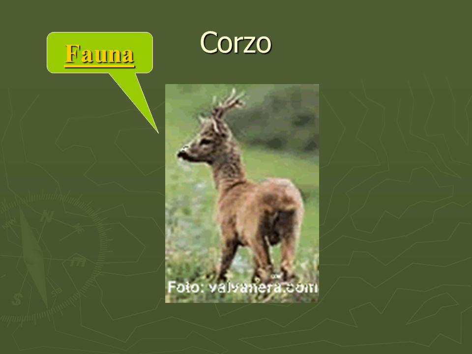 Corzo Fauna