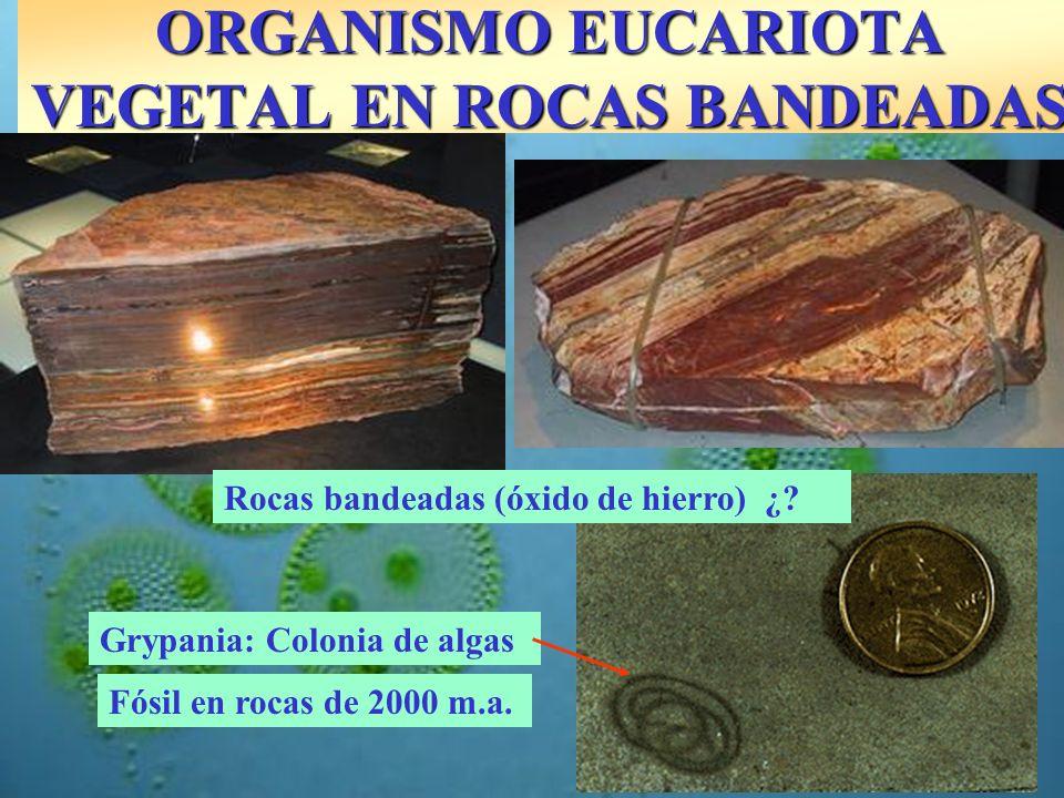 ORGANISMO EUCARIOTA VEGETAL EN ROCAS BANDEADAS