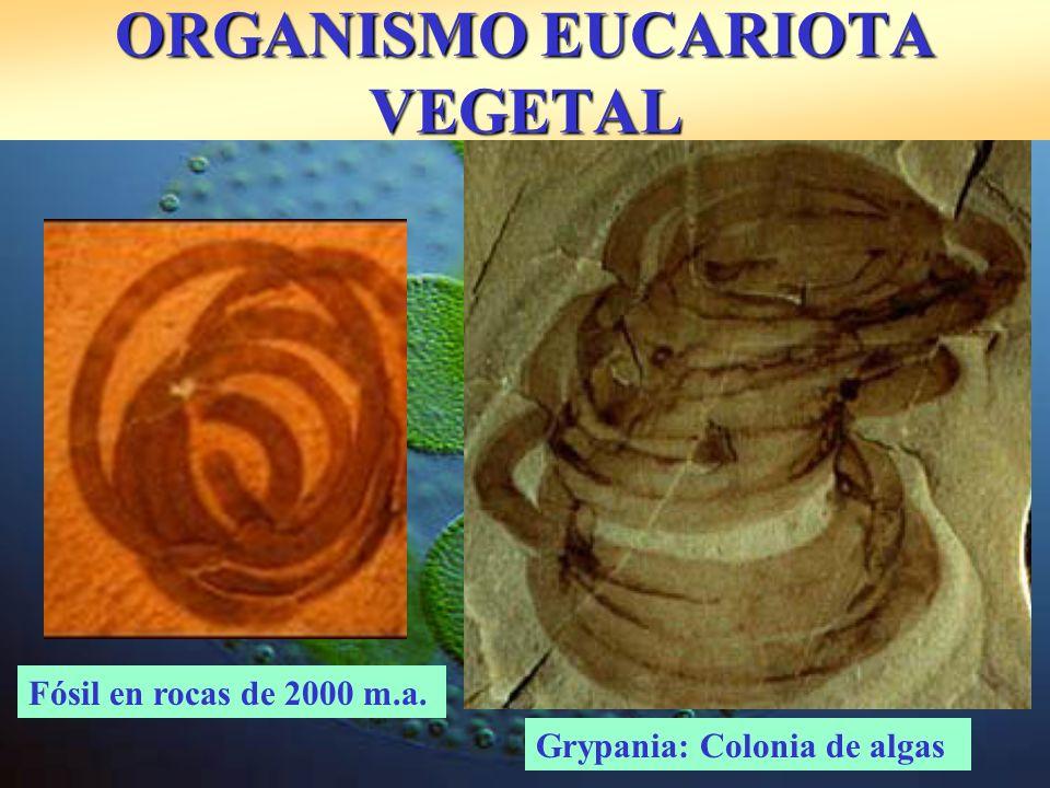 ORGANISMO EUCARIOTA VEGETAL