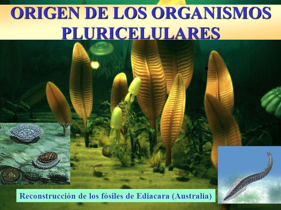 ORIGEN DE LOS ORGANISMOS PLURICELULARES