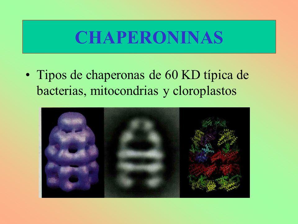CHAPERONINAS Tipos de chaperonas de 60 KD típica de bacterias, mitocondrias y cloroplastos