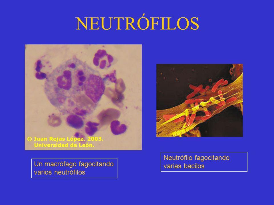 NEUTRÓFILOS Neutrófilo fagocitando varias bacilos