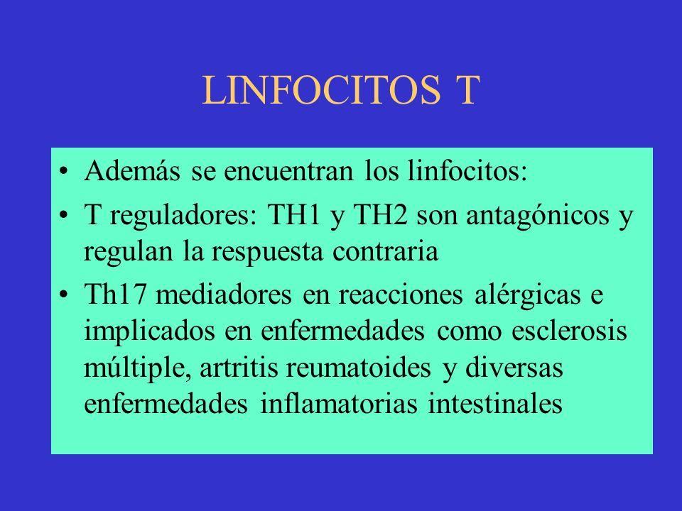 LINFOCITOS T Además se encuentran los linfocitos: