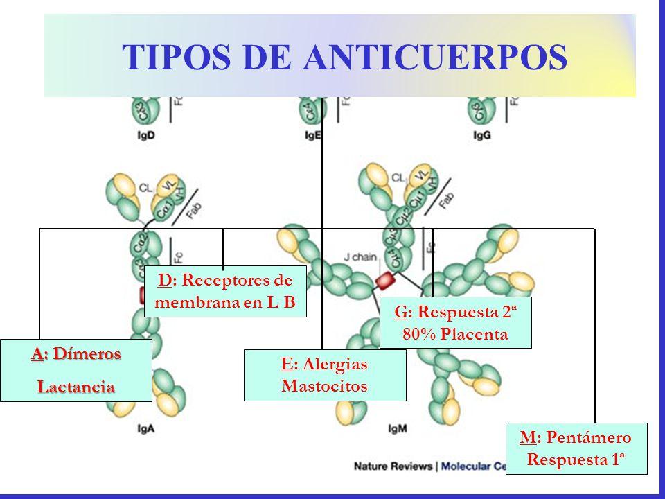 TIPOS DE ANTICUERPOS D: Receptores de membrana en L B