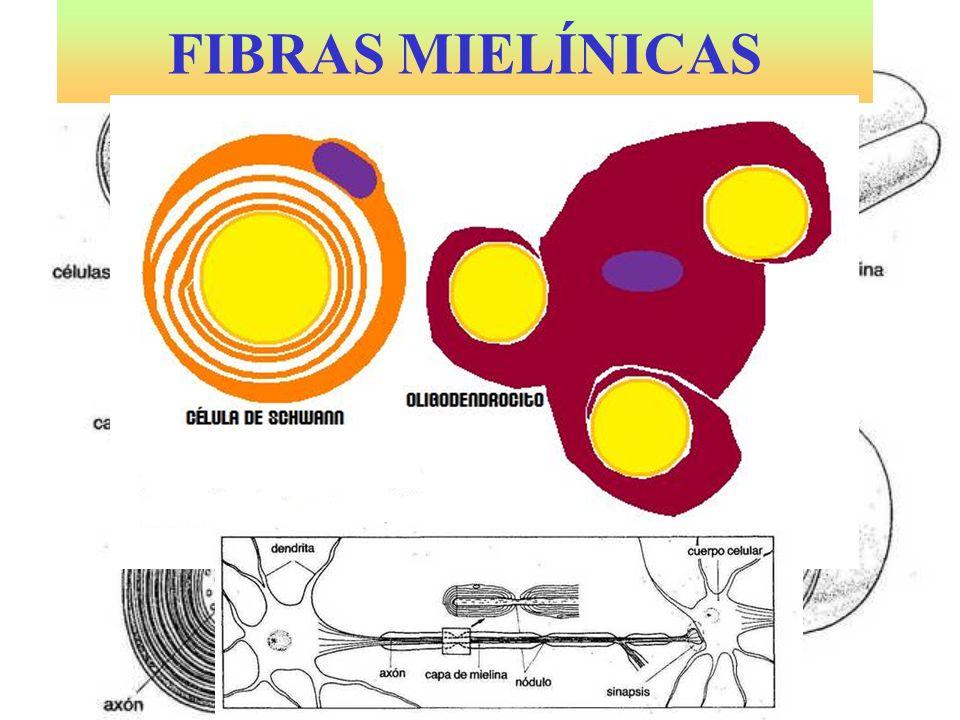 FIBRAS MIELÍNICAS
