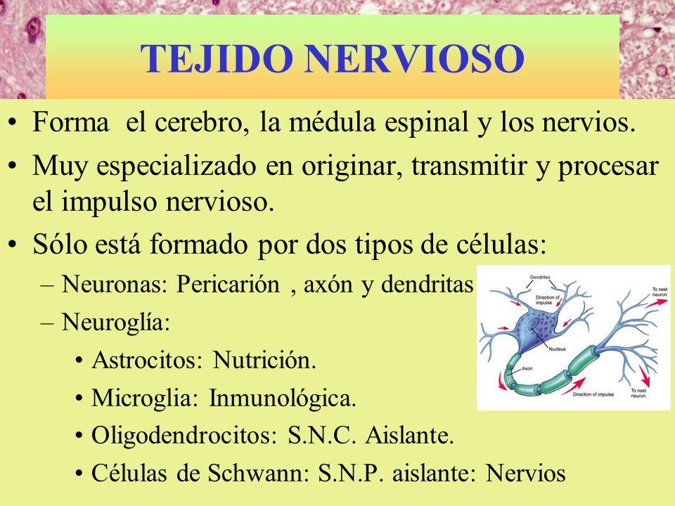 TEJIDO NERVIOSO Forma el cerebro, la médula espinal y los nervios.