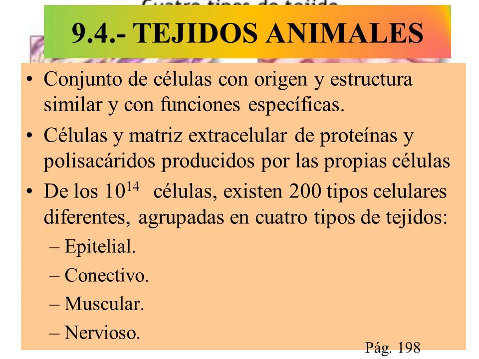 9.4.- TEJIDOS ANIMALES Conjunto de células con origen y estructura similar y con funciones específicas.