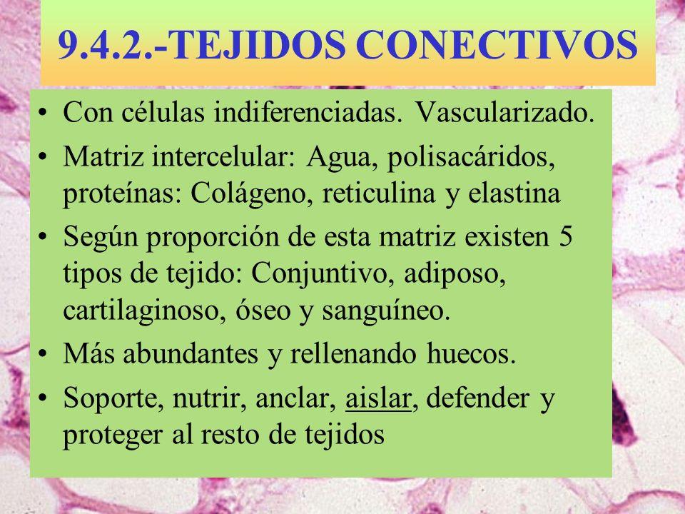 9.4.2.-TEJIDOS CONECTIVOS Con células indiferenciadas. Vascularizado.