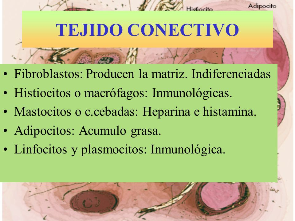 TEJIDO CONECTIVO Fibroblastos: Producen la matriz. Indiferenciadas