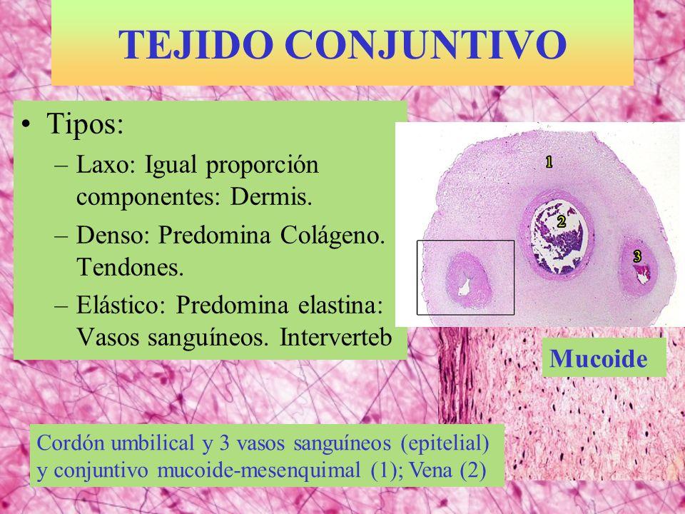 TEJIDO CONJUNTIVO Tipos: Laxo: Igual proporción componentes: Dermis.