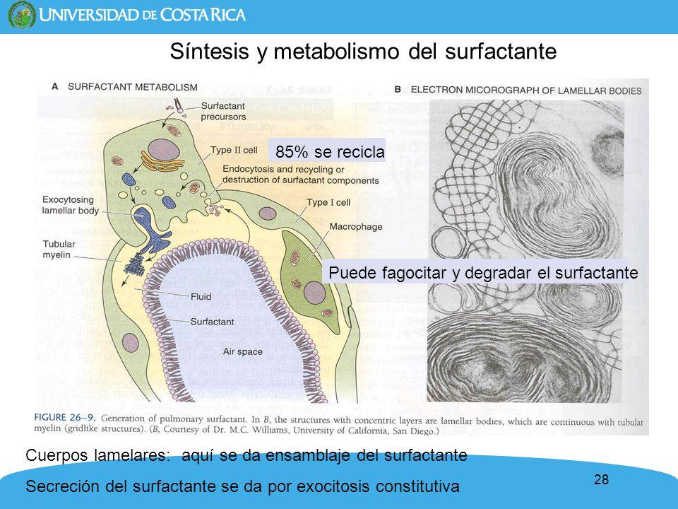 Síntesis y metabolismo del surfactante