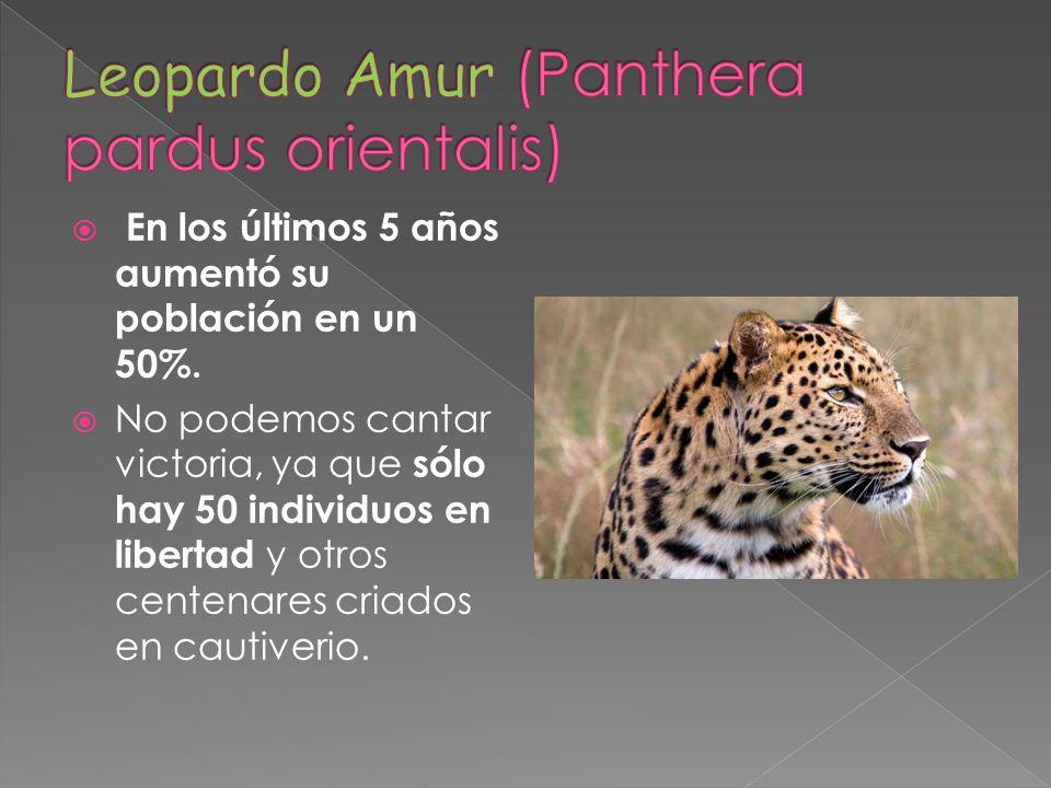 Leopardo Amur (Panthera pardus orientalis)