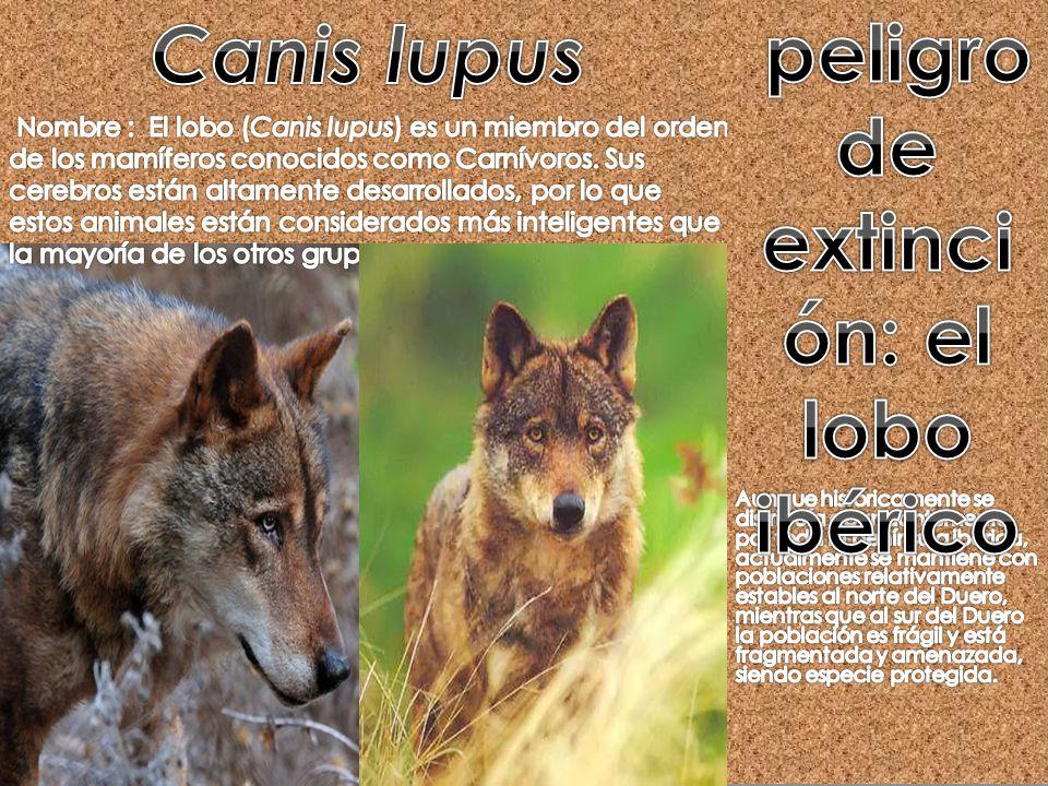 peligro de extinción: el lobo ibérico