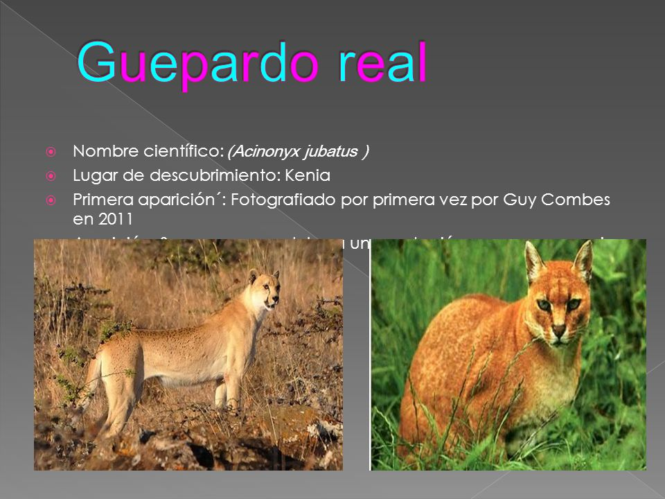 Guepardo real Nombre científico: (Acinonyx jubatus )