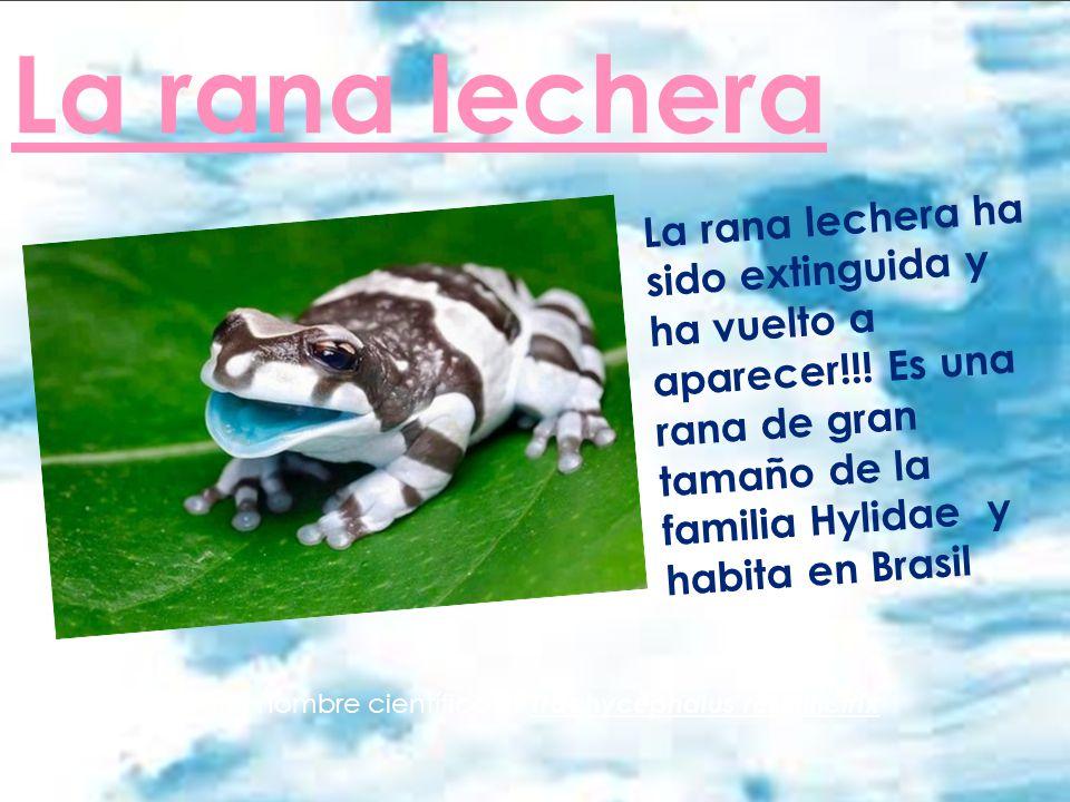 La rana lechera La rana lechera ha sido extinguida y ha vuelto a aparecer!!! Es una rana de gran tamaño de la familia Hylidae y habita en Brasil .